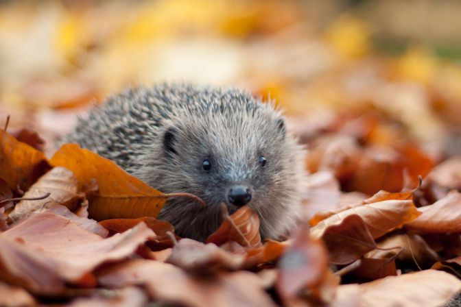 Help a Hedgehog: Advice For Bonfire Builders